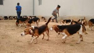 Beagle da laboratorio vedono prima volta la luce  11