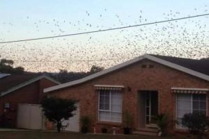 Centomila pipistrelli invadono cittadina australiana