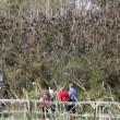 Centomila pipistrelli invadono cittadina australiana9
