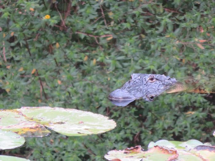 Coccodrilli del Nilo in Florida attaccano l'uomo