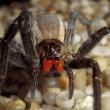 Compra banane ci trova ragno più velenoso del mondo 4