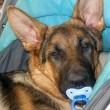 Cucciolo di cane si comporta come neonato7