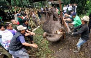 Guarda la versione ingrandita di YOUTUBE Elefantessa con zampe legate piange prima di morire