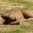 Elefantino sdraiato a terra, la mamma chiede aiuto2