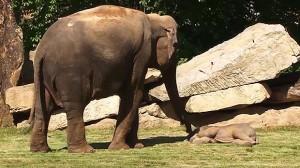 Elefantino sdraiato a terra, la mamma chiede aiuto4