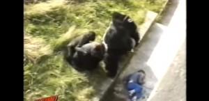 YOUTUBE Bimbo cade in gabbia Gorilla. Reazione animale…