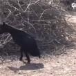 La capra con due zampe che riesce a fare tutto 8