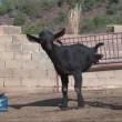La capra con due zampe che riesce a fare tutto 6
