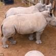 Latte finito, rinoceronti cuccioli piangono 3