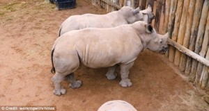 Guarda la versione ingrandita di YOUTUBE Latte finisce, rinoceronti cuccioli piangono