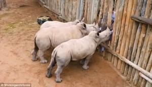 Latte finito, rinoceronti cuccioli piangono 6