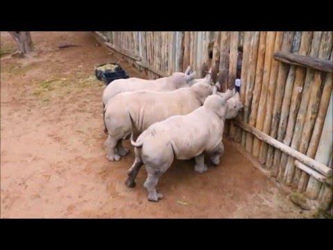 Latte finito, rinoceronti cuccioli piangono 4