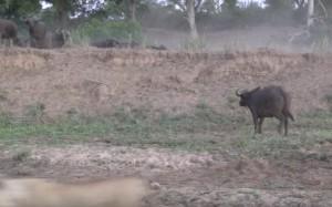 Leoni litigano, il bufalo se ne va indisturbato