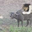 Leoni litigano, il bufalo se ne va indisturbato5
