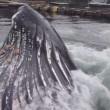 Megattera emerge accanto al molo, sorpresa in Alaska5
