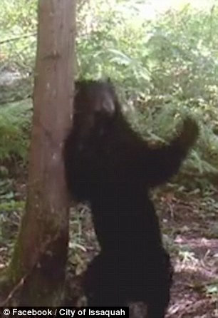 Orso in amore sfrega la schiena sull'albero 4