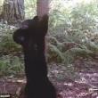 Orso in amore sfrega la schiena sull'albero