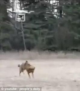 Guarda la versione ingrandita di YOUTUBE Cane a passeggio col drone, ma qualcosa va storto