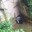 YOUTUBE Gorilla Harambe ucciso, voleva salvare un cucciolo 3