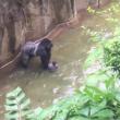 YOUTUBE Gorilla Harambe ucciso, voleva salvare un cucciolo 4