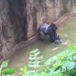 YOUTUBE Gorilla Harambe ucciso, voleva salvare un cucciolo 5