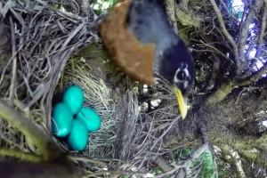 Uova uccello nel nido serpente arriva e se le ruba 5