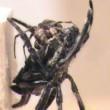 Ragno femmina gigante costringe maschio2