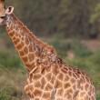 Giraffa malata, poggia collo su albero per mangiare 6