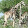 Giraffa malata, poggia collo su albero per mangiare 5
