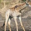Giraffa malata, poggia collo su albero per mangiare 4