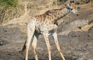 Giraffa malata, poggia collo su albero per mangiare 7