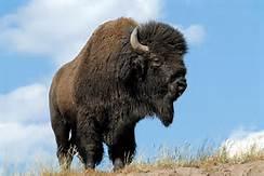 Un bisonte a Yellowstone