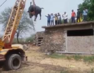 YOUTUBE Bufalo sale sul tetto, una gru per riportarlo giù