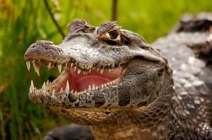 Camorra: minacce con un caimano per far pagare il pizzo