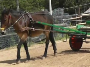 Bimbo fa un giro sul calesse: mulo impazzisce e lo uccide