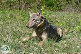 Cane lupo scoperto a Savona: no legge che li protegga