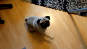 Guarda la versione ingrandita di VIDEO Insegna saluto nazista al suo cane: padrone arrestato