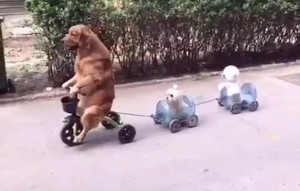 Cane guida triciclo e porta a spasso due suoi simili
