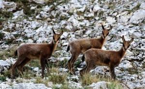 Agricoltori Asti contro caprioli: Troppi danni, vanno uccisi