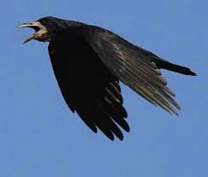 Guarda la versione ingrandita di Roma, aggredita da un corvo in strada: finisce all'ospedale