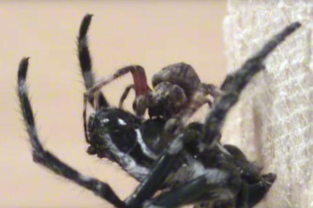 Ragno femmina gigante costringe maschio