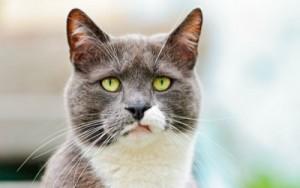 Guarda la versione ingrandita di Collare fa parlare i gatti