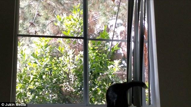Gatto Vede Uccello Salta Contro Finestra E Finisce A Terra