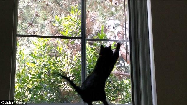 Youtube gatto vede uccello salta contro finestra e for Finestra gatto