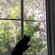 Gatto vede uccello, salta contro finestra2