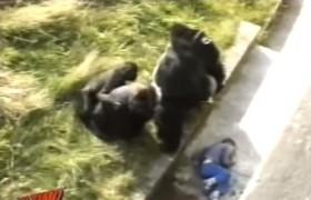 YOUTUBE Gorilla ucciso la verità: voleva salvare un cucciolo