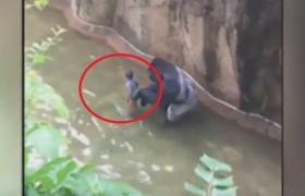 YOUTUBE Cade nel fossato: ucciso il gorilla, salvo il bimbo
