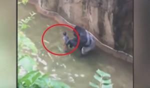 Cade nel fossato: ucciso il gorilla, salvo il bimbo