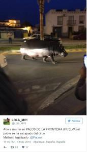 Ippopotamo in strada in Spagna, è scappato da circo