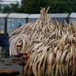 YOUTUBE Kenya, il più grande falò di avorio: 105 tonnellate04